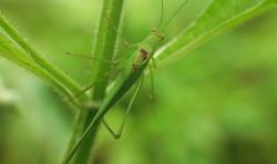 Grasshopper on stalk