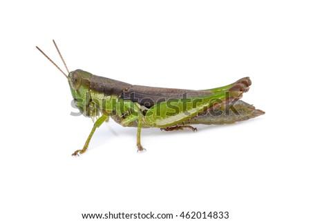 grasshopper on white background #462014833