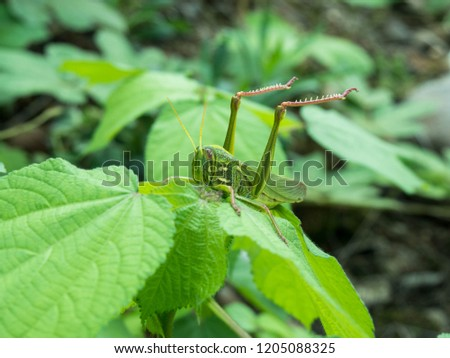 Grasshopper picture in the grass