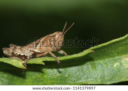 Grasshopper resting on a leaf #1141379897