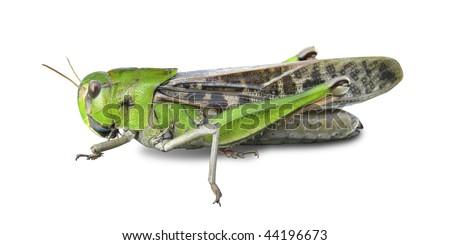 Grasshopper's white background #44196673