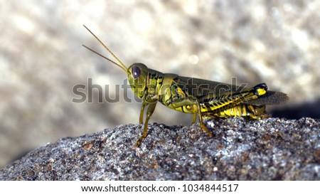 Grasshopper (Schistocerca americana) on Rock Macro #1034844517