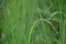 Grasshopper Seat On Grass Blurred Closeup