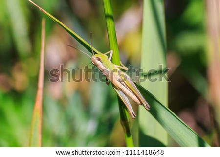 Stock Photo Grasshopper sits on the grass close-up. Macro photo of a grasshopper sitting on a sheet. Locust sitting in the grass. A green grasshopper sits on a branch.