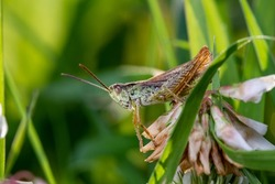 Grasshopper sitting on a clover flower on a summer sunny day macro photography. Photo of a grasshopper close-up on a green background. Macro insect in a summertime.