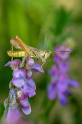 Grasshopper sitting on a purple flower on a summer day macro photography. Photo of a grasshopper close-up on a green background. Macro insect sitting on a violet flower.