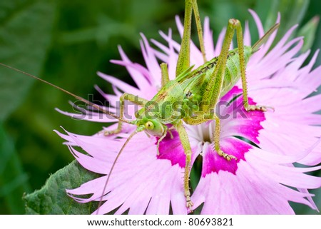 Grasshopper sitting on pink flower