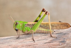 Grasshopper  standing on wooden