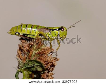 Grasshopper Stethophyma grossum on a plant with great light #83973202