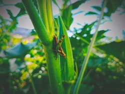 Grasshopper sticking to a twig of ladies finger