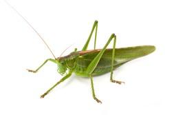 grasshopper [Tettigoniinae]