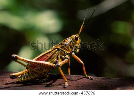 Grasshopper up close #457696