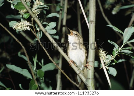 Grasshopper warbler chirping on tree - stock photo