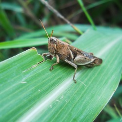 Grasshoppers are a group of insects belonging to the suborder Caelifera. They are among what is probably the most ancient living group of chewing herbivorous insects, dating back to the early Triassic