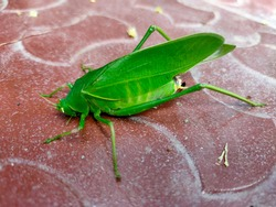 Grasshoppers are typically ground-dwelling insects with powerful hind legs which allow them to escape from threats by leaping vigorously. Grasshoppers are typically ground-dwelling insects with powerf