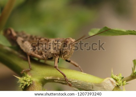 grasshoppers insect nature #1207393240