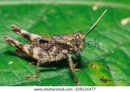 Grasshoppers, insects, insect macro, nature, focus on the eye, blurred background. #328526477