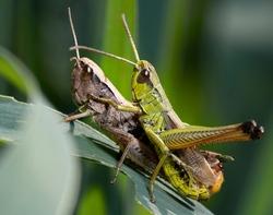 Grasshoppers mating .  The meadow grasshopper ( Pseudochorthippus parallelus  or  Chorthippus parallelus)