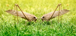 Grasshoppers, two males fight for the championship, cannibalism