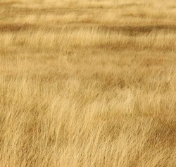 grassland background / texture ; grassland looks like a golden wave
