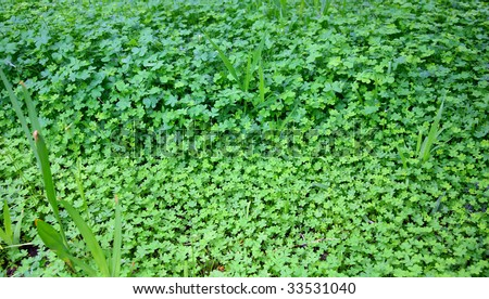 how to kill clover in grass