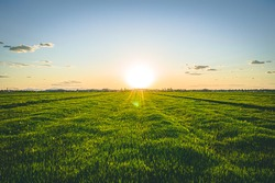 Grassy Field Blowing in the Wind at Sunset in Summer