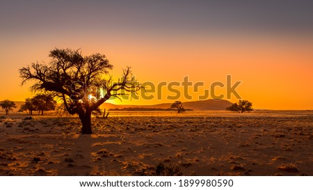 Grassy steppe with Camel Thorn trees (Vachellia erioloba), near Sesriem, evening light, Naukluft Mountains at the back, Sesriem, Namibia.