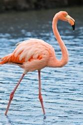 Grater flamingo (Phoenicopterus roseus) fishing in Las Bachas lagoon, Santa Cruz Island, Galapagos, Ecuador