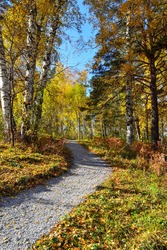 Gravel winding path through the autumn colorful forest on hill. White trunks and golden foliage of birch trees, green needles of pines, red dry grass and blue sunny sky - wonderful fall landscape