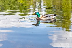 Gray and brown young adult duck with yellow nose and green neck is swimming in the pond in the park in the summer