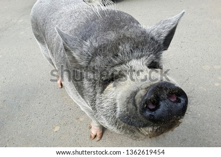 Gray and funny funny pig