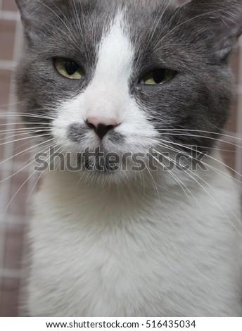 GRAY AND WHITE CAT #516435034