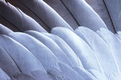 Gray and white feathers on the wing of common wood pigeon (Columba palumbus) close-up. Diagonal pattern of bird feathers as a background and texture.