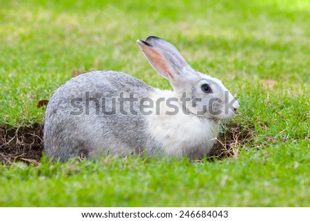 Gray and white rabbit digs a hole on green grass meadow