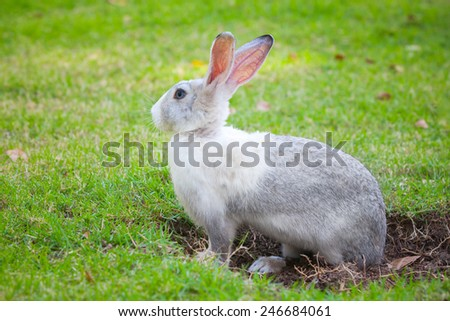 Gray and white rabbit sitting on green grass and digs a hole