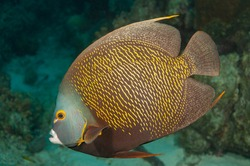 Gray angelfish, grey angelfish or black angelfish (Pomacanthus arcuatus) Bonaire, Leeward Islands