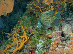 Gray angelfish, grey angelfish or black angelfish (Pomacanthus arcuatus) Cozumel, Mexico