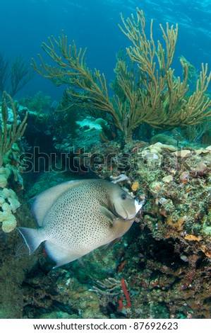 Gray Angelfish swimming over a reef ledge in shallow water.