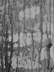 Gray bark Gray bark pattern  Bark