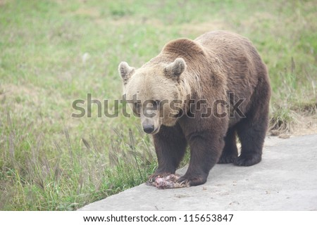 gray bear eating meat in the zoo park