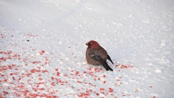 Gray bird with a red breast on the snow near rowanberry. Bullfinch in winter time.