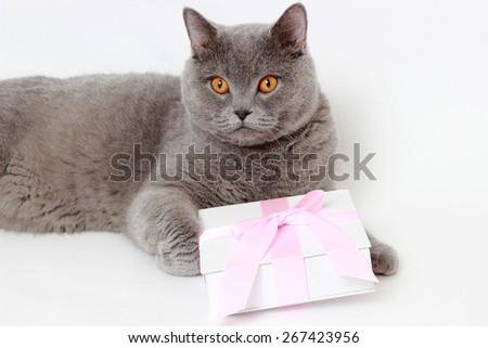 gray British cat holding present gift box
