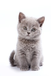 Gray British cat kitten (isolated on white)