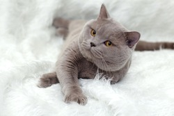 gray British cat on a white background