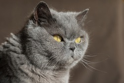 Gray British cat with yellow eyes, sunlit, looking to the side. Close-up, selective focus.