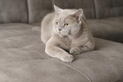 Gray british shorthair cat lies on a sofa indoors looking at the camera