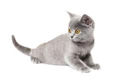 gray British Shorthair Kitten   isolated on white background