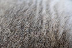 gray brown soft husky fur background, dog fur,dog hair, animal fur,animal skin,gray texture macro