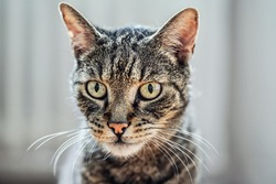 Gray brown tabby cat looking curiously, closeup detail on his head