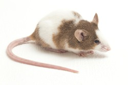 Gray Brown white  mouse isolated on white background
